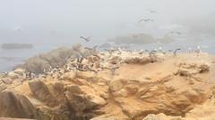IMG_0231 Seagull (vicjuan) Tags: 20170625 美國 usa 加州 california montereycounty pebblebeach geotagged geo:lat=36591925 geo:lon=121964157 海 sea 太平洋 pacificocean 鳥 bird 海鷗 seagull