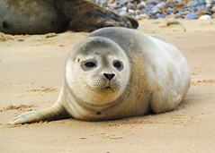 The Smile (Nigel B2010) Tags: seal harbour common blakeney point norfolk uk wildlife nature sea coast coastal morston quay