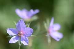 fragility of life (dfromonteil) Tags: fleur flower blue bleu pastel violet purple pourpre vert green nature printemps spring colors couleurs macro bokeh light sunlight lumière focus dof heart coeur