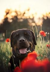 Rysiek (aurorapesonen) Tags: dog rottweiler animalphotography animal sunset sunlight flowers dogphotography dogportrait dogphotographer domestic dogmodel colorful canon canoneos1000d smile poland red beautiful bokeh blackdog