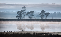 Near a Tree by a River (Keith Midson) Tags: tasmania fog tree clouds mist early morning swans ducks water