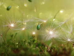 The Introvert (miss gecko) Tags: introvert vulnerable strength moss dandelion concept macro