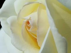 White rose 2017 (Kenih8) Tags: flower rose white olympus pen epl7 macro elmarit 45mm