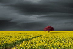 Cherry on Top (Carlos Gotay Martínez) Tags: alone cherrytree cloud clouds eerie field landscape menace menacing minimalist nature ominous openspace outdoor outside power rain rapeseed sky solitary storm stormyweather thunder tree weather