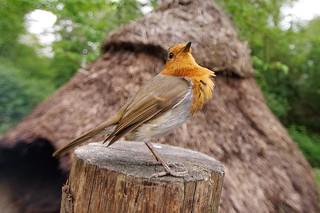 Close up on a robin
