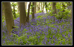 Woodland Colour (Audrey A Jackson) Tags: canon60d bluebellwood staffordshire trees bluebells nature colour ferns branches