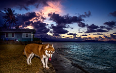 """Okay, Where's the Snow???"" (JUNEAU BISCUITS) Tags: sunset dog animal pet siberianhusky husky waimanalo hawaii beach beachhouse oahu ocean"