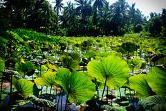 Lotus (Studio 124) Tags: palauubin singapore wiechertvisser