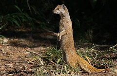Yellow Mongoose (13) (Richard Collier - Wildlife and Travel Photography) Tags: wildlife naturalhistory mammals southernafrica southafrica yellowmongoose sunrays5 coth5