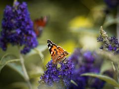 Butterfly's Paradise (ursulamller900) Tags: pentacon28100 bokeh schmetterling butterfly distelfalter tagpfauenauge schmetterlingsflieder insekt insects purple