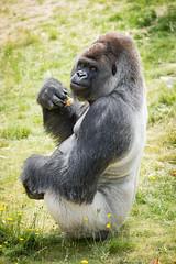2017-06-05-10h48m53.BL7R7033 (A.J. Haverkamp) Tags: bokito canonef100400mmf4556lisiiusmlens rotterdam zuidholland netherlands zoo dierentuin blijdorp diergaardeblijdorp httpwwwdiergaardeblijdorpnl gorilla westelijkelaaglandgorilla dob14031996 pobberlingermany nl