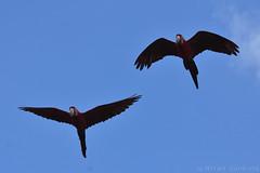 Green-Winged Macaws in Flight (Bri_J) Tags: tropicalbutterflyhouse northanston sheffield southyorkshire uk butterflyhouse greenwingedmacaw flight macaw parrot yorkshire nikon d7200 arachloropterus