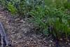 June 2017 polyculture garden update - 21 (pakovska) Tags: garden gardening vegpatch allotment potager jardin jardinage moestuin volkstuin forestgarden groentetuin permaculture polyculture