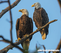 Bald Eagle pair at sunset Father's Day 2017 (Mike Black photography) Tags: bald eagle bird nature canon big year birding 5dsr 5ds r 800mm lens body usm is l photo photography mike black june 2017 sky trees birdwatching raptors