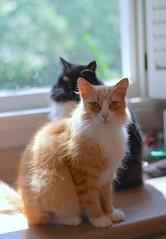 Jimmy and Batman (rootcrop54) Tags: orange ginger longhair male cat batman tuxedo kitchen counter window natural light multiple cats neko macska kedi 猫 kočka kissa γάτα köttur kucing gatto 고양이 kaķis katė katt katzen kot кошка mačka maček kitteh chat ネコ explore explored jimmy