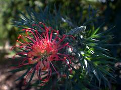 Grevillea (Grenzeloos1) Tags: flower grevillea pink