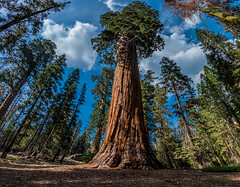 Grant Grove in Kings Canyon NP (Facundity) Tags: canoneos70d ©rachaellandau kingscanyonnp sequoias sequoiadendrongiganteum wideangle california trees giant 1022mm outdoors naturallight nationalpark grantgrove forest conifer tree wood pine
