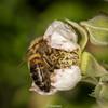 HoneyBee-0001.jpg (vorneo) Tags: honeybee classinsecta kingdomanimalia europeanhoneybee orderhymenoptera familyapidae westernhoneybee bee phylumarthropoda wild speciesamellifera binomialnameapismellifera genusapis