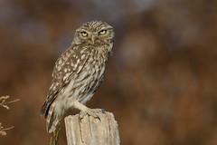 Chévêche d'athena (jpgoube) Tags: athenenoctua chevêchedathéna littleowl strigidés strigiformes bird oiseau