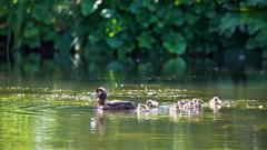 Family Swim! (paulapics2) Tags: duck ducklings nature animal chicks lake hydehallgardens ripples outdoor june canoneos5dmarkiii canonef70300mmf456lisusm