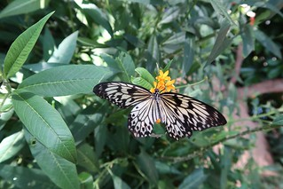 PAPER KITE - Wilhelma Stuttgart Schmetterlings-Haus 2017-06-18 - SOOC