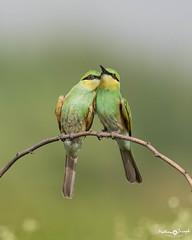 Green bee-eaters sharing a secret (mathewindelhi) Tags: bird birds birdphoto birdphotography wild wildlife nature naturephotography delhi ncr india indianbirds indiapictures okhla