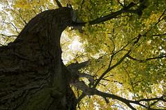 Senextrogyre (Atreides59) Tags: arbres trees arbre tree nature up pentax nord k30 k 30 pentaxart atreides atreides59 cedriclafrance jaune yellow