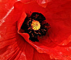 Redder than wine (Jan 130) Tags: poppy red jan130 redredwine song geotagged ngc doublefantasy npc sunrays5 coth5
