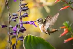 Female Hummer  [In Explore 7/13/17] (helenehoffman) Tags: bird sandiegozoo hummingbird pollinator aves conservationstatusleastconcern animal selasphorus