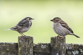 Pied Wagtail & House Sparrow fledgelings