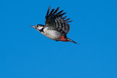 Great spotted woodpecker (Happy snappy nature) Tags: greatspottedwoodpecker birdinflight bluesky colourful beautiful plumage nature wildlife midwales sunnyday outdoors