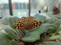 Mumificada....ali ficou... (LuPan59) Tags: lupan59 fauna insectos borboletas sintra