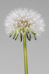 dandelion (kaifr) Tags: spring blossom floral taraxacumofficinale botany lightweight fluffy plant head blowflower flora commondandelion macro sphere closeup seed stem softness seeds weed oslo norway no
