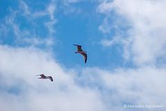 #gaviotas #seagulls #2016 #animal #ave #bird #fowl #cielo #heaven #sky #cieloazul #bluesky #azul #blue #nubes #clouds #volar #fly #naturaleza #nature #photography #photographer #picoftheday #sonystas #sonyimages #sonyalpha #sonyalpha350 #sonya350 #alpha35 (Manuela Aguadero) Tags: blue volar azul sonystas clouds 2016 bluesky sonya350 sonyimages gaviotas animal seagulls nature fowl fly picoftheday cieloazul photography sky nubes bird sonyalpha sonyalpha350 cielo ave heaven photographer alpha350 naturaleza