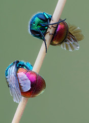 Chrysis duo (andre de kesel) Tags: chrysis chrysidoidea macro hymenoptera focusstacking zerenestacker gimp sonya6500 metabonescanoneftosonyesmartadaptermarkiv canonef100mm128lisusm