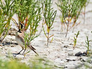 Horned lark male