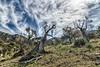 Planici (Fortimbras) Tags: fortimbras jvjribas tokinaaf1224mmf4 tramuntana paisaje landscape olivos