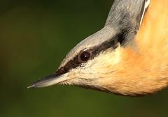 Nuthatch. (ronalddavey80) Tags: bird nuthatch