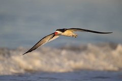 Morning Skimmer (DTT67) Tags: blackskimmer black skimmer birds bif birdinflight flight nature wildlife canon 1dxmkii 500mmii 14xtciii beach water