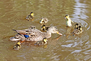 Mallard Hen And Ducklings 17-0604-6703