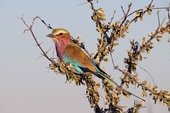 Lilac-breasted Roller (Coracias caudatus) (Gary Stephenson) Tags: lilacbreastedroller etoshanationalpark coraciascaudatus africa namibia