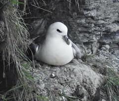 Fulmar - Cliffs at Seaton Sluice (Gilli8888) Tags: nature nikon p900 coolpix tyneandwear birds fulmar seatonsluice northumberland coast cliffs coastal seagull gull seabirds