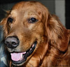 """ Ok Cooper..Big Smile ! "" (John Neziol) Tags: jrneziolphotography goldenretriever fieldretriever pet pointynoseddogs portrait interestingdogposes dog dognose dogtongue animal nikon nikondslr nikoncamera nikond80 smileofadog brantford"