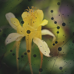 179 | 365 | VI (Randomographer) Tags: project365 flower composite columbine aquilegia grannysbonnet plant layered digital art 179 365 vi life