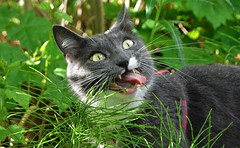 Love the grass :D (marski95) Tags: cat funny pet cute
