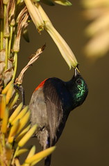 Male Greater Double-collared Sunbird (Cinnyris afer) at Walter Sisulu National Botanical Garden, Gauteng, South Africa