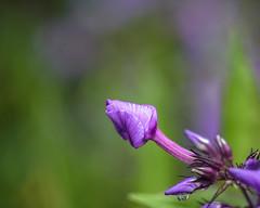 Full Of Promise (Fourteenfoottiger) Tags: buds summer abundant rich bright petals flowers purple green nature plants dof depthoffield pretty colourful helios44m fresh raindrop water dew rain macro folded delicate