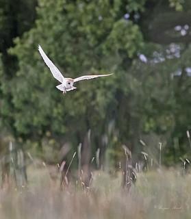 Tyto Alba .... Barn Owl.