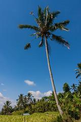 IMG_0626 (Ela&Piotr) Tags: bali indonesia indonezja jatiluwih ricefields