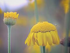C'est l'été ! (jf.cudennec) Tags: nature flower yellow insect bug green summer daisy bretagne canon 70d 100mm macro